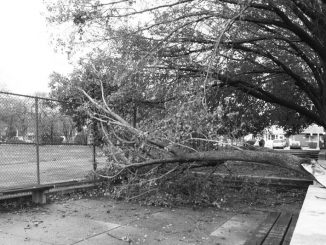 A branch of a tree near 11th Street and Cecil B. Moore Avenue split off during Hurricane Sandy. The branch remained on its side Tuesday, Oct. 30. | ALI WATKINS / TTN