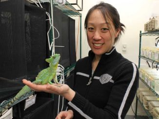 """Tonia Hsieh studies basilisks, also known as """"Jesus lizards,"""" and how they deal with environments they run through. Hsieh and her lizards were spotlighted in a Temple Made TV commercial last fall. 