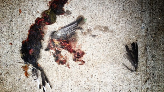 The remains of a bird lay plastered to the pavement outside the Student Center. Officals from the school and Audubon Society estimate more than 1,000 have birds have died on campus this year, mostly from building collisions. | Abi Reimold TTN