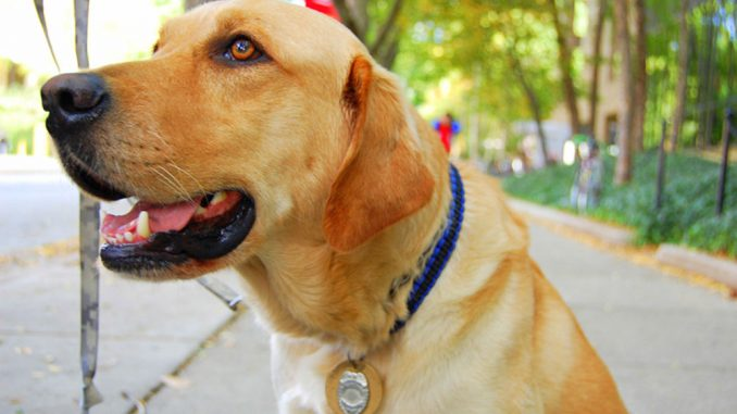 Jarvis, a canine officer, was originally trained to be a seeing-eye dog, but his history of ear infections disqualified him. He now works with Temple police officers. | Tyra Lockhart TTN