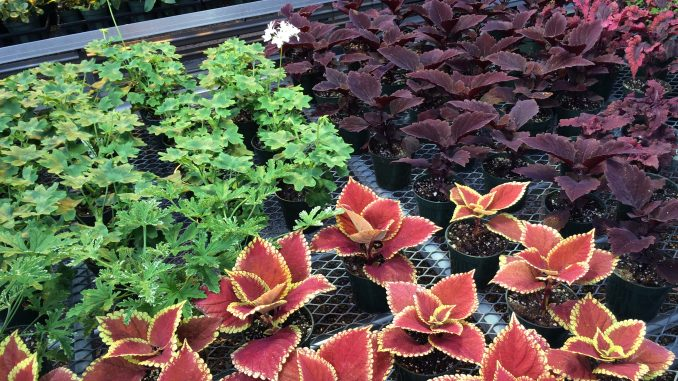 The plant sale will include plants like perennials, annuals, woodies, herbs, veggies and hanging baskets. | COURTESY Anne Brennan