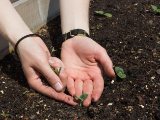 Senior environmental studies major Katy Ament touches a newly-sprouted plant. | Alex Friend TTN